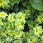 ดอก Primula (เขียว) / 20 เมล็ด