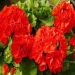 ดอก Geranium (แดง) / 20 เมล็ด