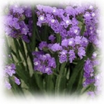 ดอกสแตติสสีม่วง Statice Purple / 50 เมล็ด