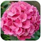 ไฮเดรนเยีย สีชมพู Hydrangea Pink / 10 เมล็ด