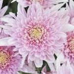 เบญจมาศ ให้ดอกสวยงาม...ยามหน้าหนาว