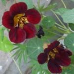 ดอก Nasturtium seeds / 30 เมล็ด