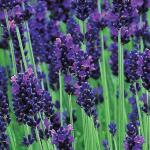 Lavender Lavendula Purple ลาเวนเดอร์ ลาเวนดูล่า ม่วง / 20 เมล็ด