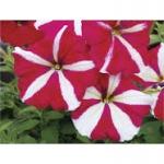Petunia Tornado Rose Star พิทูเนีย ทอนาโด โรส สตาร์/ 30 เมล็ด