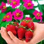 สตรอเบอรี่ Tuscana Strawberry /30 เมล็ด
