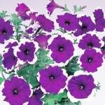 พิทูเนีย เมอร์ลิน บลู พิโคที Petunia Merlin Blue Picotee / 30 เมล็ด