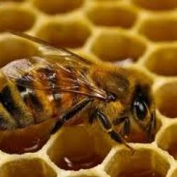 พิษผึ้ง (Bee Venom)