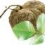 สารสกัดกวาวเครือครัว(Kwao Krua Extract)