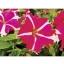 Petunia Tornado Rose Star พิทูเนีย ทอนาโด โรส สตาร์/ 30 เมล็ด thumbnail 2