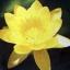 บัวสีไทยสีเหลือง / 50 เมล็ด thumbnail 1