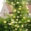 กุหลาบเลื้อย สีเหลือง Yellow Climbing Rose Seeds / 10 เมล็ด thumbnail 2