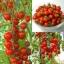 มะเขือเทศเชอรี่ สีแดง / 10 เมล็ด thumbnail 1