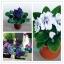 ดอก Saintpaulia Seeds (คละสี) / 20 เมล็ด thumbnail 1
