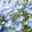 ดอก Nemophila : Baby blue eyes / 30 เมล็ด thumbnail 2