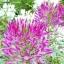 ดอกเสี้ยนฝรั่ง (คละสี) / 50 เมล็ด thumbnail 1