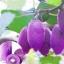 กีวีสีม่วง Purple Kiwi / 10 เมล็ด thumbnail 1