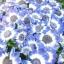 ดอกซินเนอราเรีย Cineraria / 20 เมล็ด thumbnail 2
