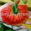 สตรอเบอรี่ Giant Strawberry /30 เมล็ด thumbnail 1