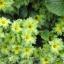 ดอก Primula (เขียว) / 20 เมล็ด thumbnail 1