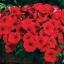 ดอก Petunia seeds (แดง) / 50 เมล็ด thumbnail 1