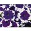 ดอกพิทูเนีย จัมโบ้ บลู ฟรอสต์ / 30 เมล็ด thumbnail 1