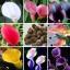 Calla Lily Bulbs ลิลลี่ หัว(คละสี) 1 หัว thumbnail 1