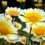 การ์แลนด์ เดซี่ (Garland Daisy) / 30 เมล็ด thumbnail 1