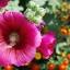 ดอกฮอลลี่ฮ็อค Hollyhock Flower / Mix / 20 เมล็ด thumbnail 2