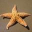 สารสกัด ปลาดาว Starfish Extract 100 G.