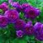 กุหลาบเลื้อย สีม่วง (PURPLE CLIMBING ROSE) / 10 เมล็ด thumbnail 3