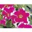 Petunia Grandiflora Jumbo Cherry Frost พิทูเนีย แกรนดิฟลอร่า จัมโบ้ เชอร์รี่ ฟรอสต์ / 100 เมล็ด thumbnail 1