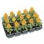 Cleosia Plumosa Kimono Yellow สร้อยไก่ กิโมโน เยลโล่ /40 เมล็ด thumbnail 1