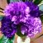 ดอก Carnation (ม่วง) / 10 เมล็ด thumbnail 1