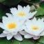 บัวฝรั่งสีขาวหอม / 50 เมล็ด thumbnail 1