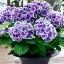 ไฮเดรนเยีย สีม่วงขอบขาว Hydrangea Purple / 10 เมล็ด thumbnail 1