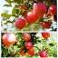 แอปเปิ้ล Apple Seeds /5 เมล็ด thumbnail 1