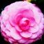 คามิเลีย Camellia Seeds/ 2 เมล็ด thumbnail 3