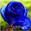 กุหลาบสีฟ้าเข้ม / 10 เมล็ด thumbnail 1