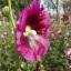 ดอกฮอลลี่ฮ็อค Hollyhock Flower / Mix / 20 เมล็ด thumbnail 6