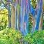 ยูคาลิปตัส สีรุ้ง Rainbow Eucalyptus / 30 เมล็ด thumbnail 1