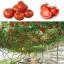 มะเขือเทศต้น Tomato tree seeds / 10 เมล็ด thumbnail 1
