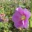 ดอกฮอลลี่ฮ็อค Hollyhock Flower / Mix / 20 เมล็ด thumbnail 4