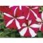 Petunia Tornado Rose Star พิทูเนีย ทอนาโด โรส สตาร์/ 30 เมล็ด thumbnail 1