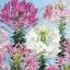 ดอกเสี้ยนฝรั่ง (คละสี) / 50 เมล็ด thumbnail 2