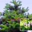 ต้น Abies koreana / 10 เมล็ด thumbnail 3