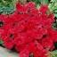 ดอก Petunia seeds (แดง) / 50 เมล็ด thumbnail 2