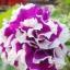 ดอกพิทูเนีย ชามิ่ง Charming Petunia / 20 เมล็ด thumbnail 1