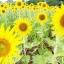 ทานตะวันสีเหลืองดอกใหญ่ / 50 เมล็ด thumbnail 2