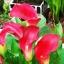 เมล็ดลิลลี่ ( สีแดง) Red Calla Lily seeds / 20 เมล็ด thumbnail 3