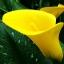 Calla Lily Bulbs ลิลลี่ หัว(สีเหลือง) 1 หัว thumbnail 1